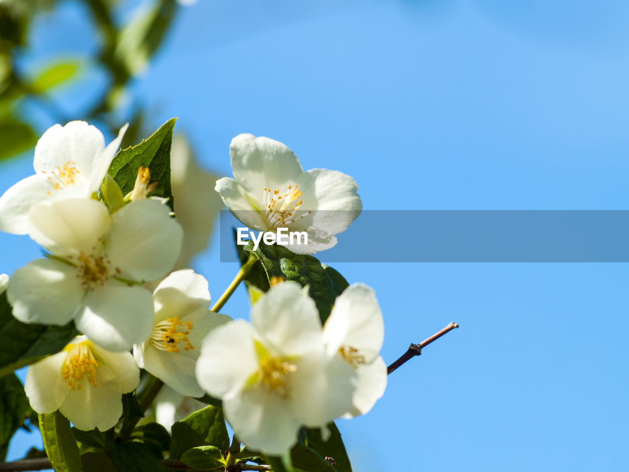 flower, fragility, white color, beauty in nature, petal, freshness, flower head, nature, blossom, day, clear sky, growth, no people, low angle view, springtime, tree, outdoors, blooming, blue, close-up, sky