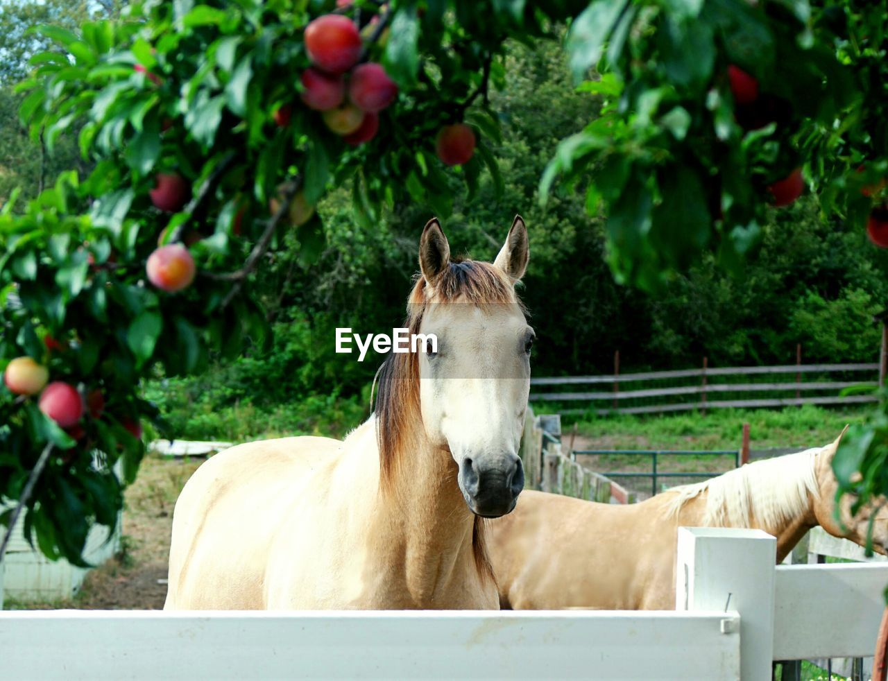 Horses In Stable By Apple Tree