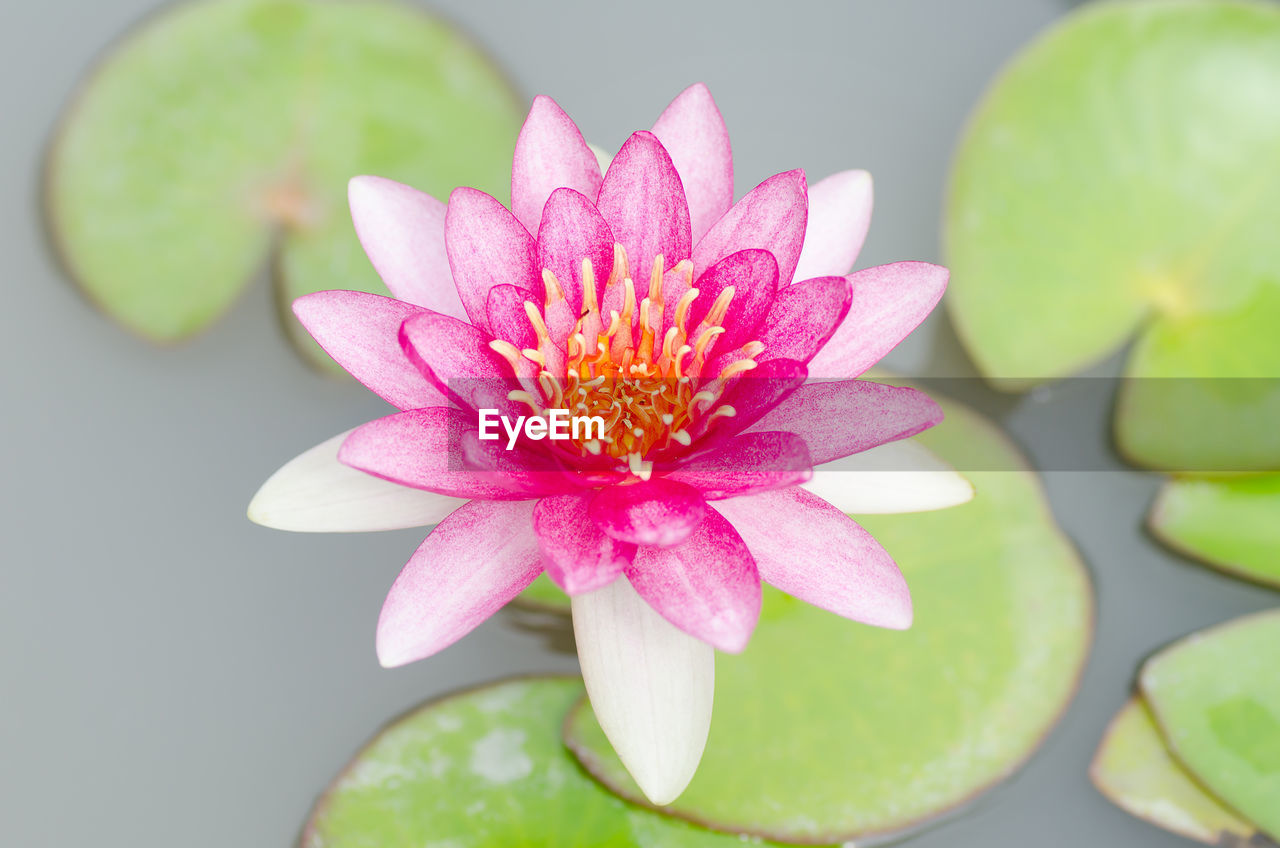 flower, petal, beauty in nature, fragility, pink color, freshness, flower head, lotus water lily, water lily, nature, leaf, close-up, growth, plant, no people, lotus, water, day, lily pad, outdoors