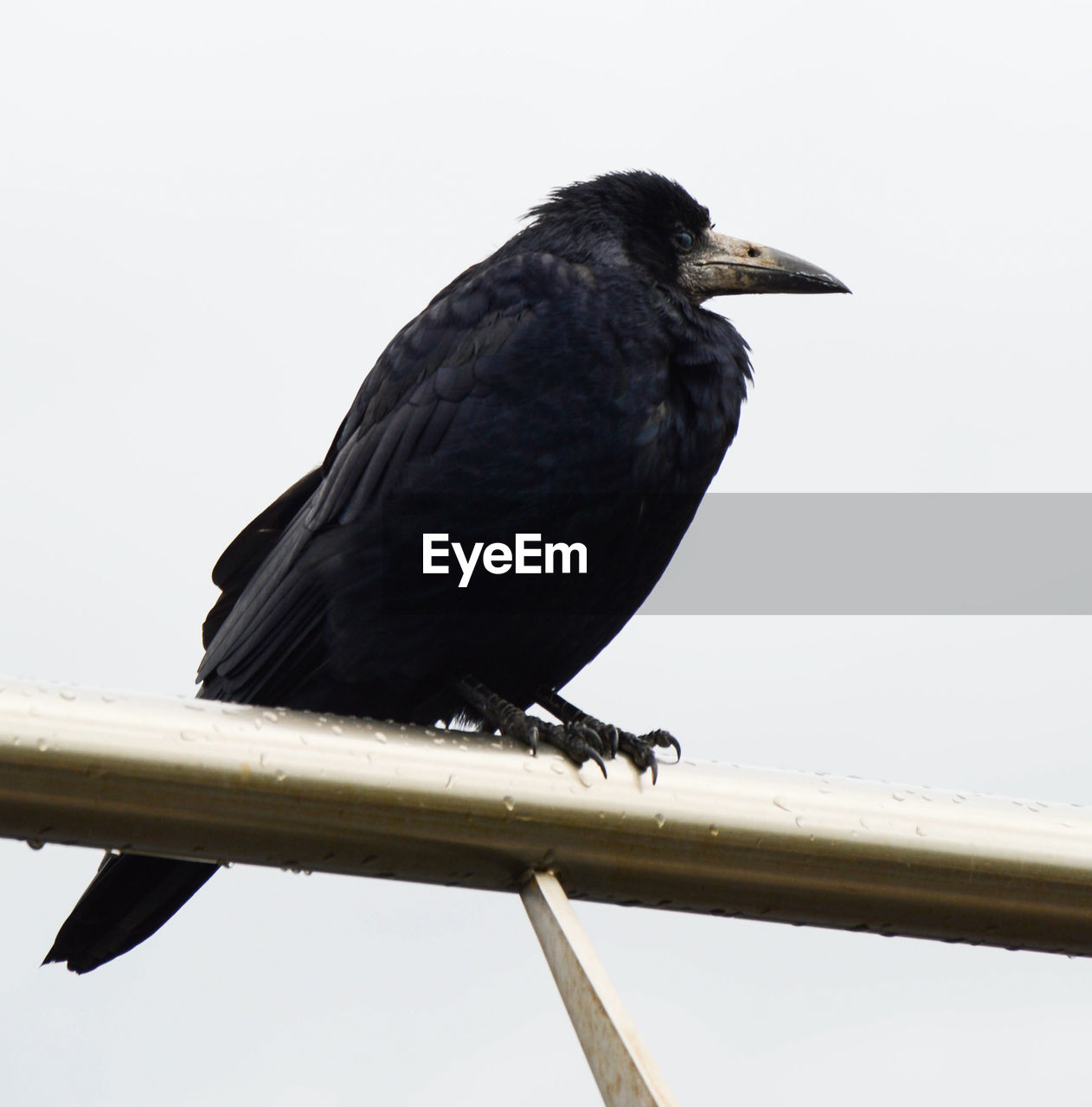 animal themes, one animal, animals in the wild, bird, perching, animal wildlife, black color, crow, no people, raven - bird, clear sky, day, outdoors, nature, full length, close-up, sky