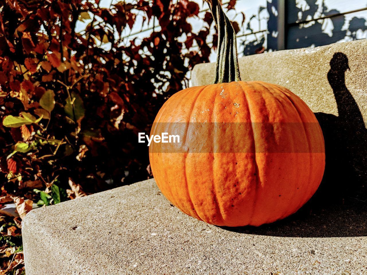 food, pumpkin, food and drink, vegetable, sunlight, orange color, healthy eating, no people, shadow, focus on foreground, day, wellbeing, nature, autumn, freshness, close-up, plant, outdoors, still life, single object