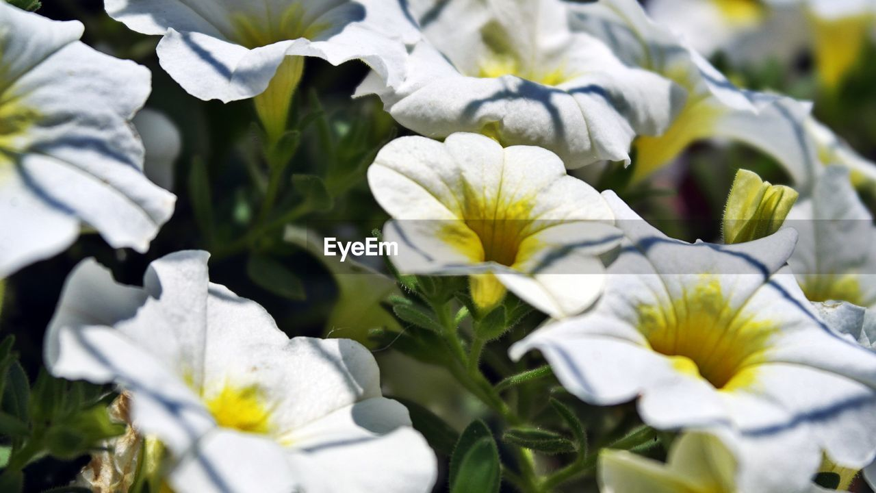 flowering plant, flower, plant, beauty in nature, fragility, vulnerability, growth, petal, freshness, white color, close-up, flower head, inflorescence, nature, no people, day, selective focus, outdoors, leaf, plant part, springtime
