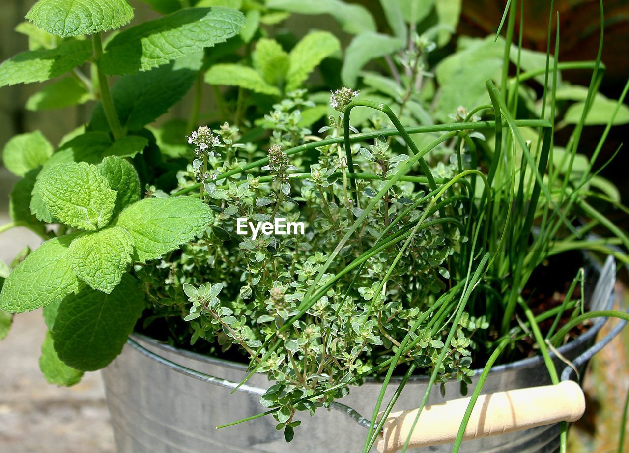 green color, plant, growth, plant part, leaf, nature, freshness, potted plant, herb, food, food and drink, healthy eating, no people, day, close-up, wellbeing, beauty in nature, container, outdoors, vegetable, mint leaf - culinary, flower pot, gardening, leaves