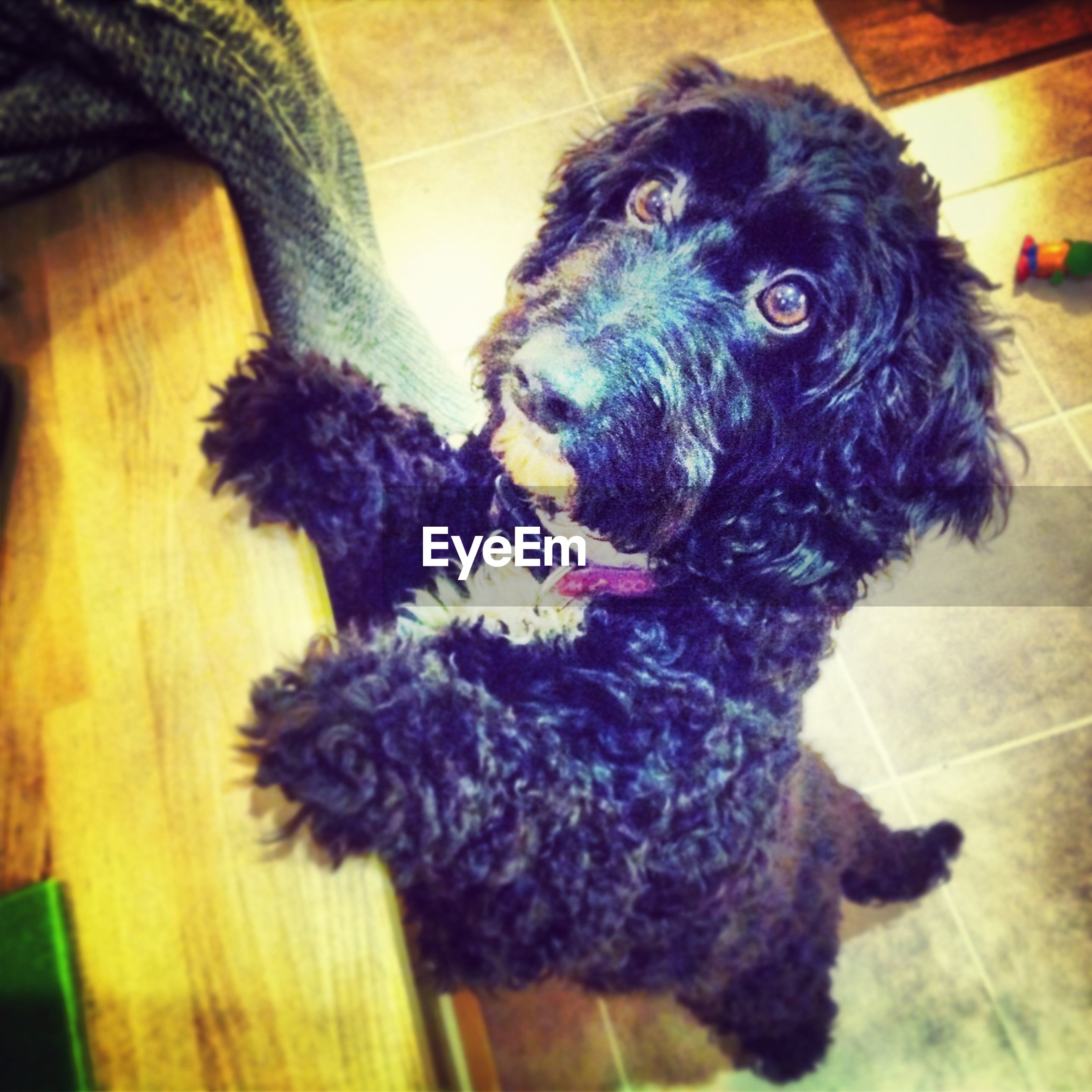 Portrait of poodle rearing up by wooden table on floor