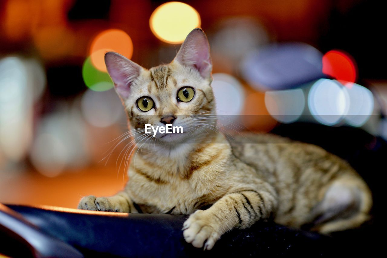 cat, pets, domestic cat, feline, domestic, domestic animals, animal themes, mammal, animal, one animal, vertebrate, focus on foreground, looking at camera, portrait, no people, close-up, relaxation, indoors, whisker, selective focus, animal head, animal eye, tabby