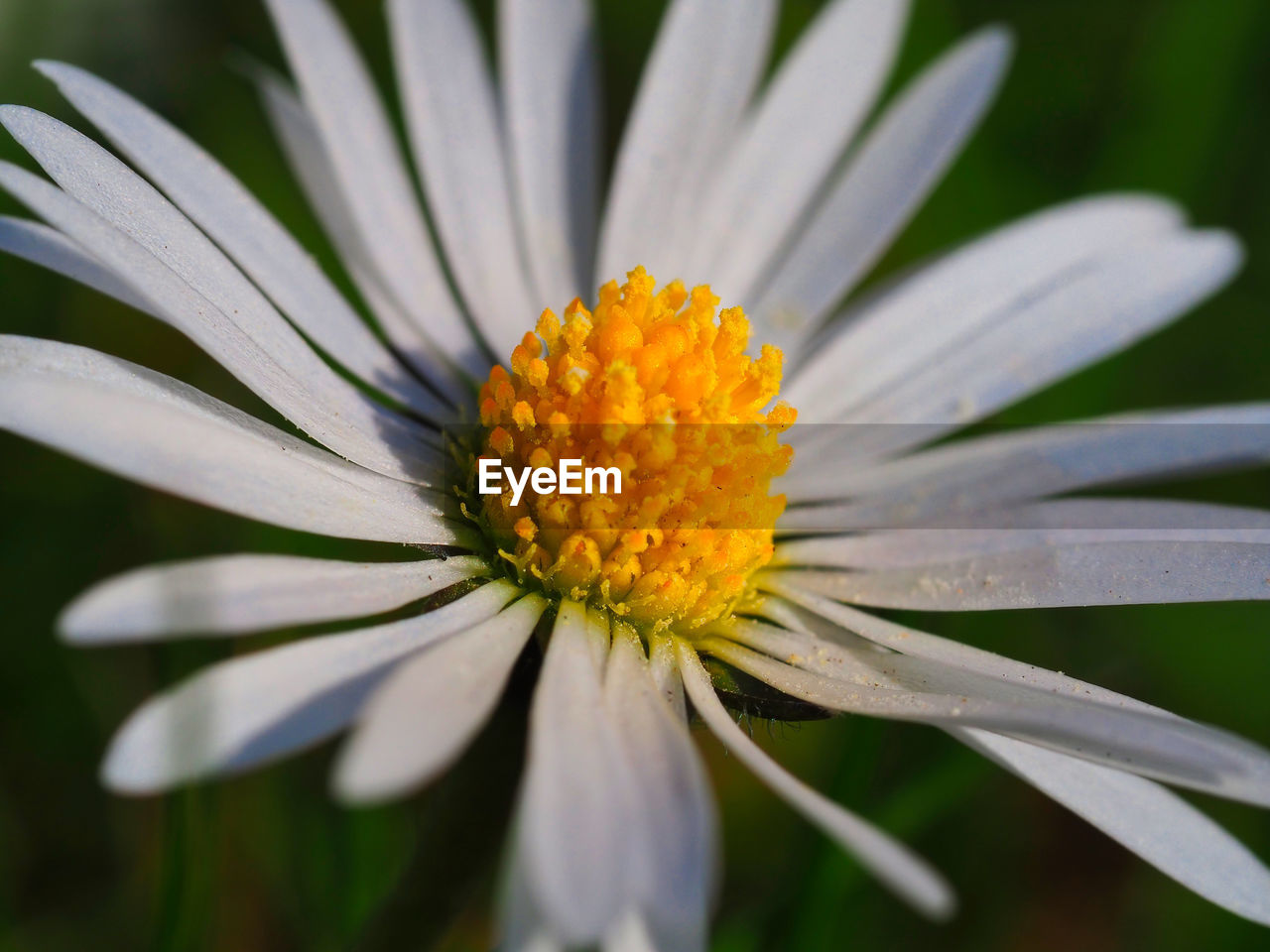 CLOSE-UP OF WHITE DAISY FLOWER WITH YELLOW POLLEN