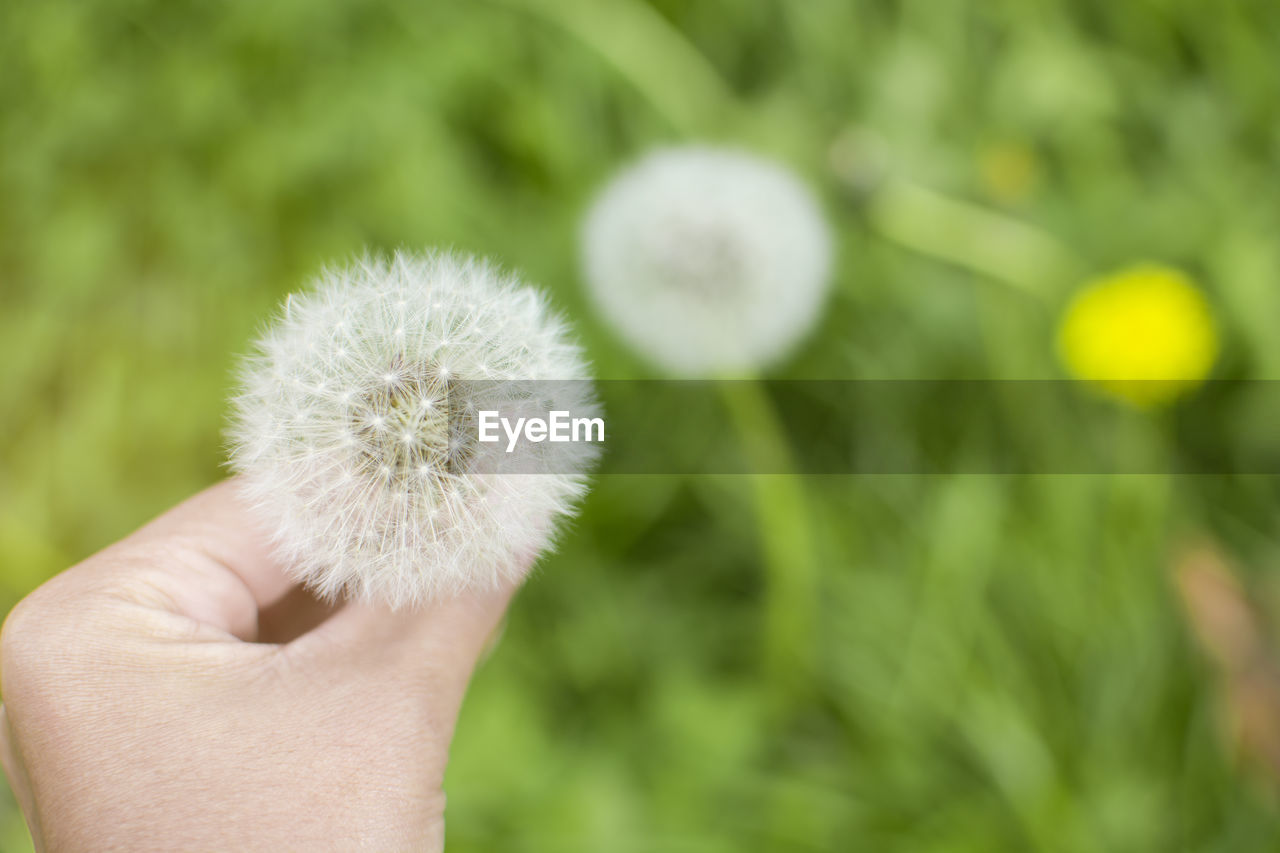 Close-up of hand holding dandelion flower outdoors