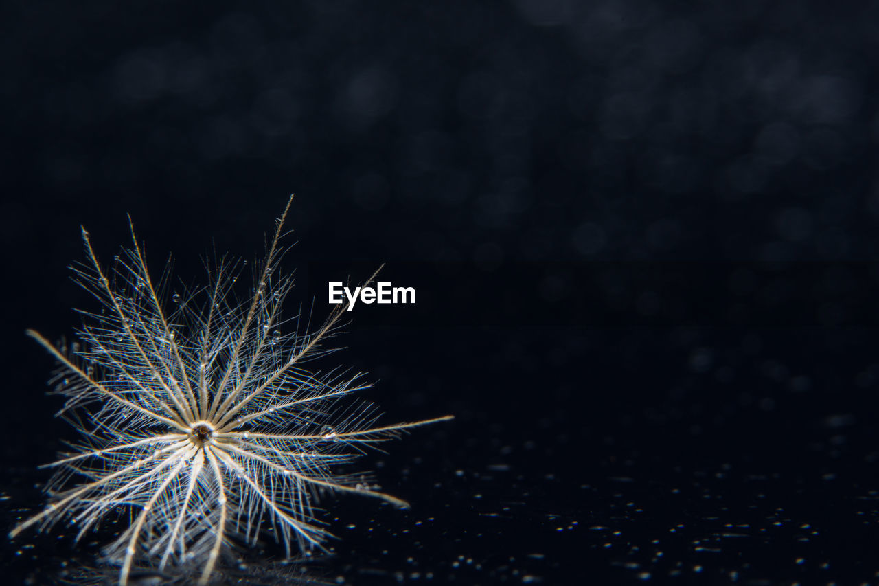 night, no people, copy space, nature, celebration, plant, illuminated, close-up, beauty in nature, arts culture and entertainment, outdoors, focus on foreground, freshness, sky, fragility, vulnerability, growth, firework, event, black background, firework display, dandelion seed