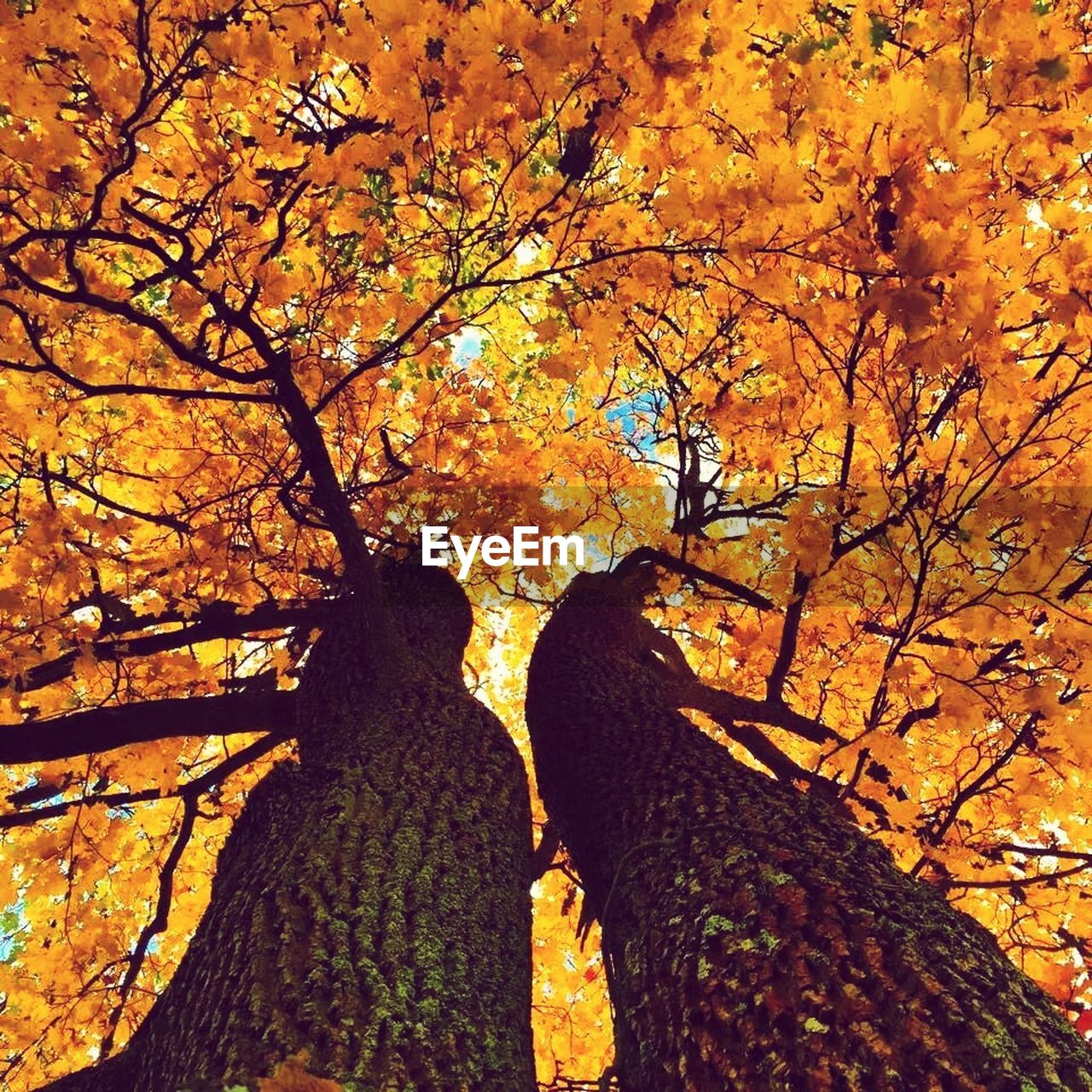 tree, autumn, nature, branch, beauty in nature, orange color, growth, leaf, change, tree trunk, day, outdoors, tranquility, no people, sunlight, scenics, low angle view, maple, sky