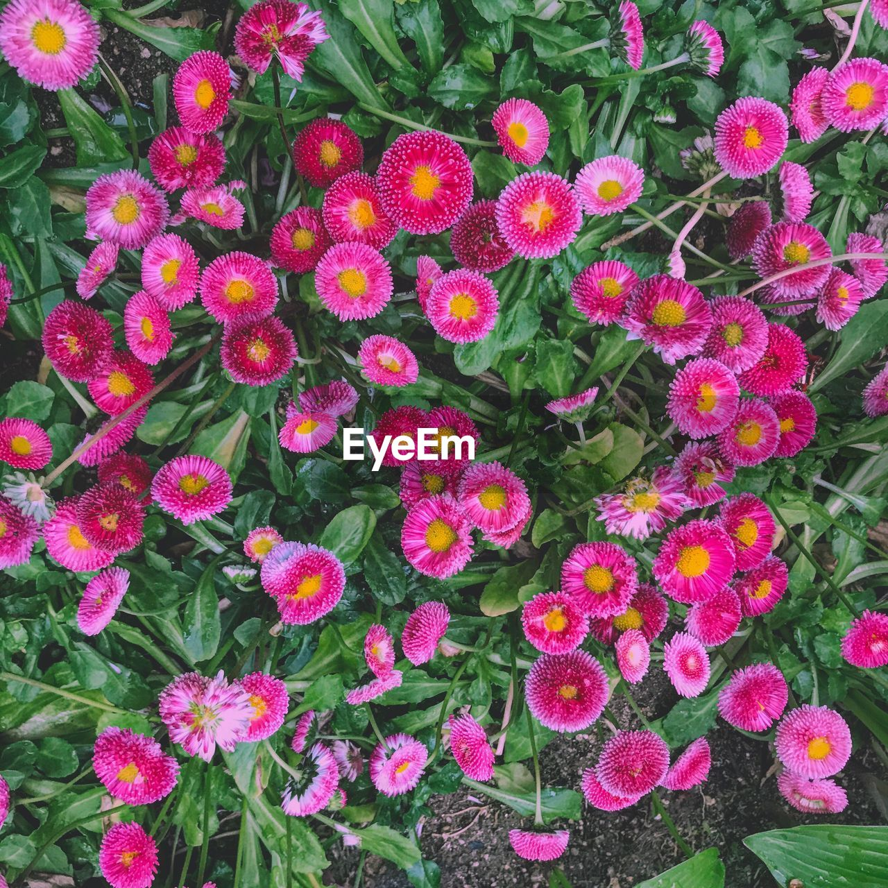 flower, growth, high angle view, beauty in nature, freshness, no people, plant, outdoors, day, nature, fragility, pink color, blooming, flower head, close-up