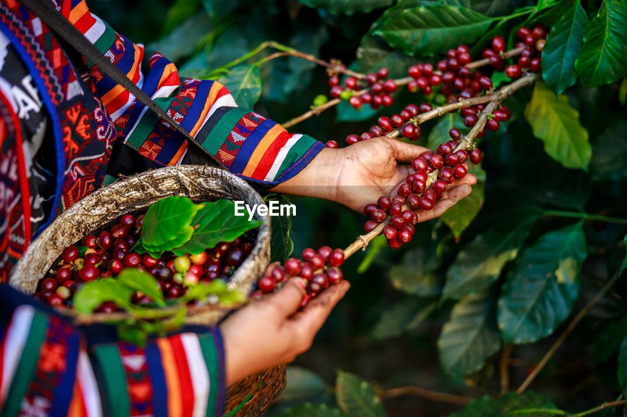 woman farmer picking raw coffee beans