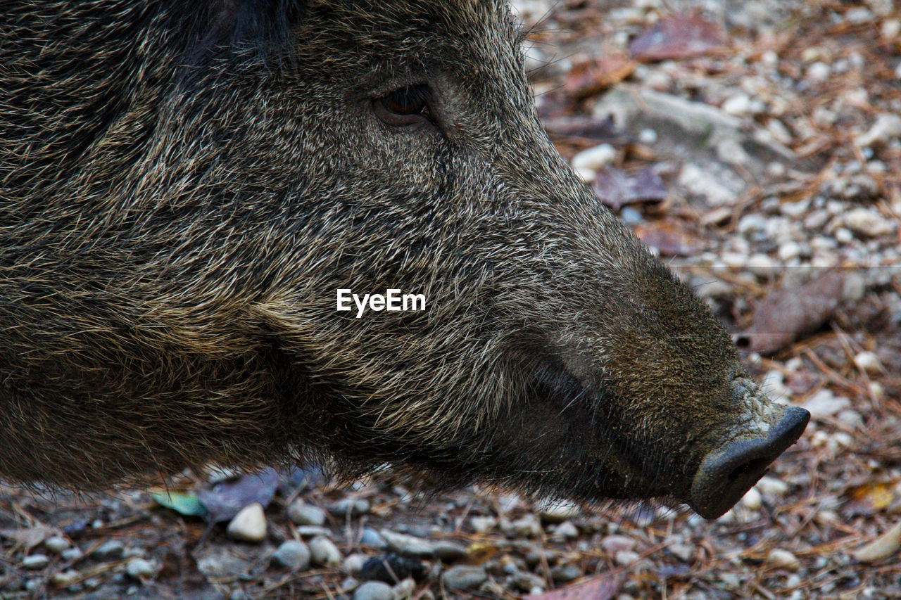 animal themes, animal, animals in the wild, animal wildlife, one animal, mammal, land, no people, day, nature, wild boar, pig, close-up, outdoors, animal body part, vertebrate, side view, field, animal head, rock, profile view, pebble