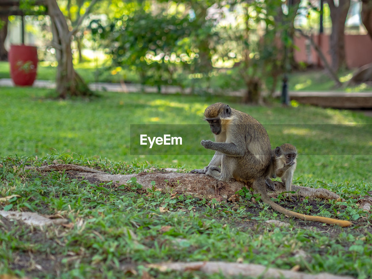 plant, mammal, animal, animal themes, animals in the wild, land, one animal, grass, field, day, tree, animal wildlife, vertebrate, nature, primate, selective focus, no people, monkey, sitting, outdoors