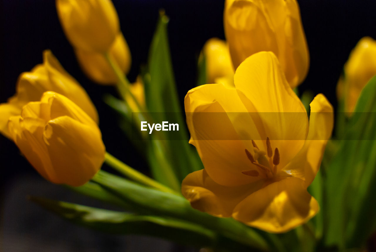 flowering plant, flower, vulnerability, fragility, plant, petal, beauty in nature, freshness, yellow, close-up, growth, flower head, inflorescence, nature, no people, selective focus, tulip, day, pollen, outdoors, flower arrangement