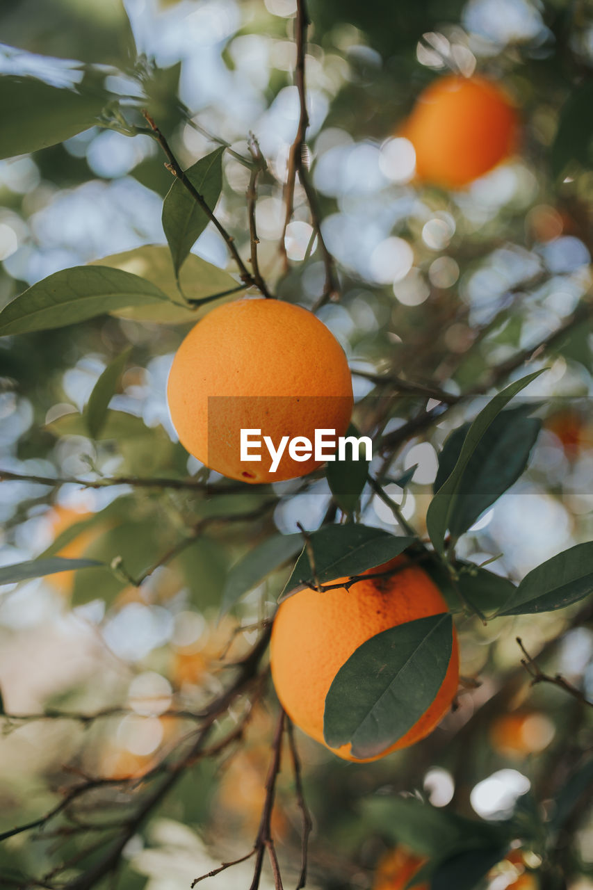 fruit, orange color, tree, healthy eating, plant, food, food and drink, leaf, growth, plant part, orange, citrus fruit, orange tree, focus on foreground, orange - fruit, freshness, wellbeing, fruit tree, no people, nature, outdoors, ripe