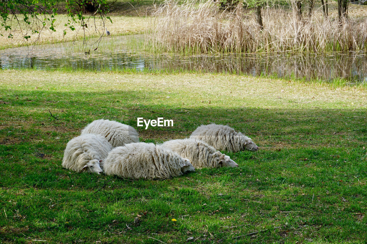 grass, plant, mammal, relaxation, domestic animals, nature, animal themes, animal, domestic, land, no people, pets, day, green color, one animal, field, vertebrate, lying down, outdoors