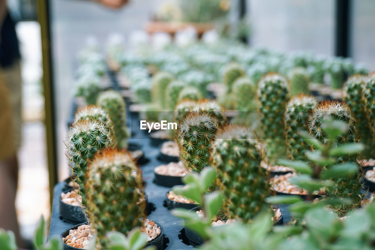 Potted Cactuses For Sale In Nursery