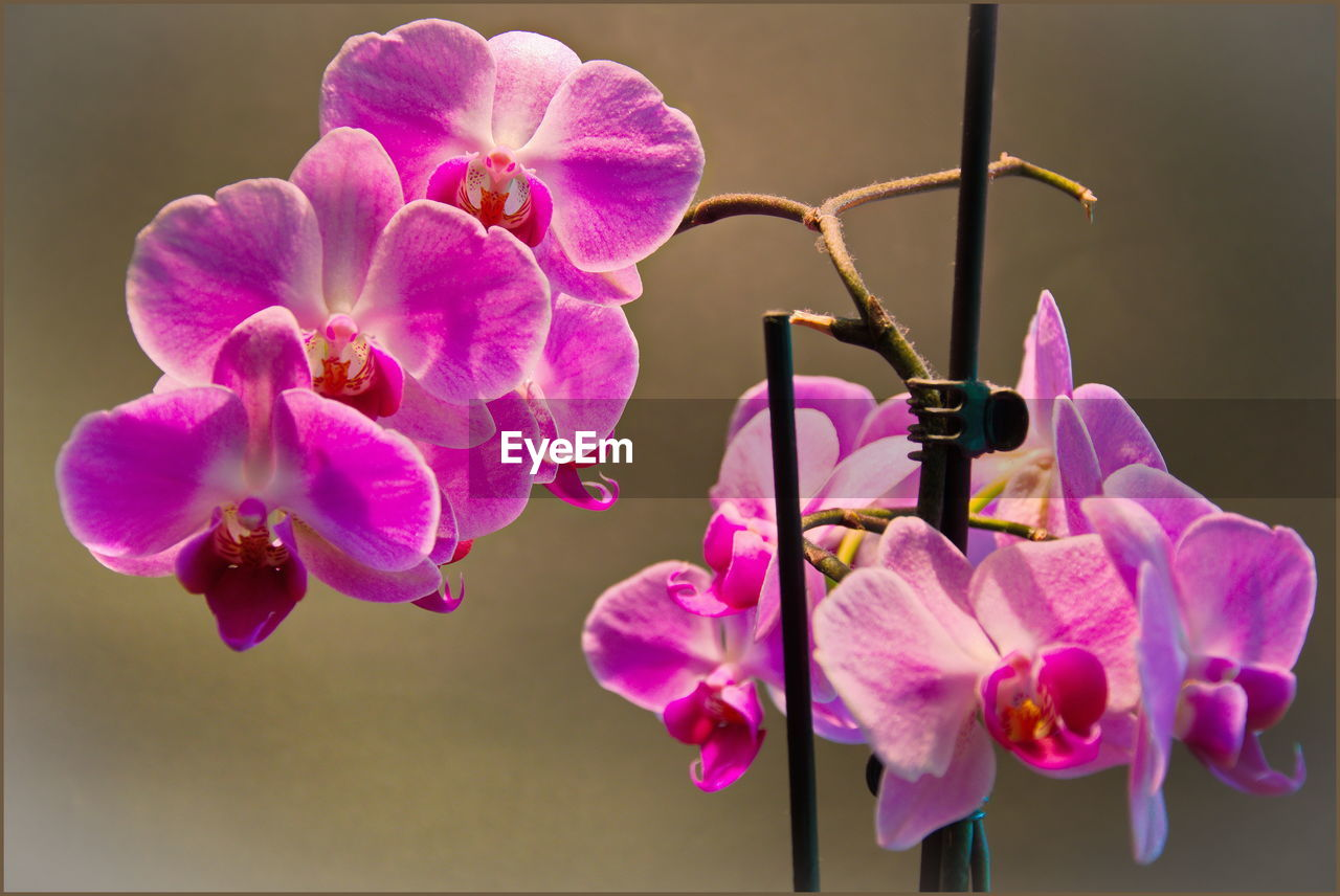 flower, flowering plant, vulnerability, petal, freshness, beauty in nature, fragility, plant, flower head, pink color, inflorescence, close-up, growth, orchid, nature, no people, focus on foreground, purple, day, outdoors, pollen