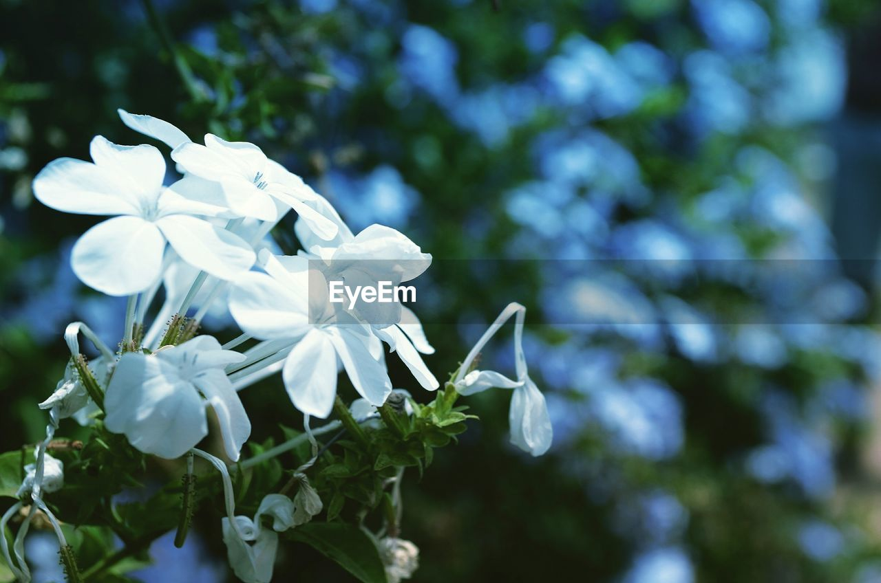 flower, beauty in nature, white color, nature, fragility, petal, growth, plant, no people, flower head, day, focus on foreground, outdoors, blooming, freshness, close-up, snowdrop, tree