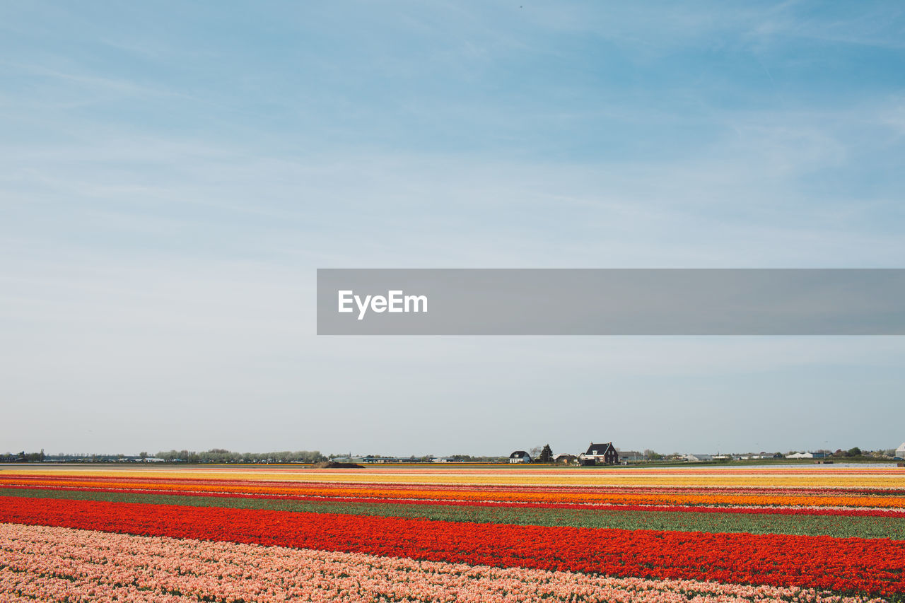field, sky, landscape, agriculture, tranquil scene, land, environment, plant, beauty in nature, scenics - nature, tranquility, rural scene, nature, no people, farm, growth, idyllic, crop, non-urban scene, day, plantation, flowerbed