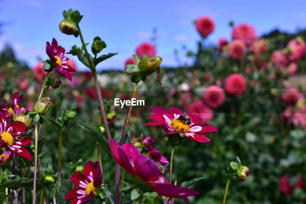 flowering plant, flower, vulnerability, fragility, plant, beauty in nature, freshness, growth, petal, close-up, flower head, inflorescence, pink color, nature, focus on foreground, no people, day, field, selective focus, plant stem, outdoors, pollen