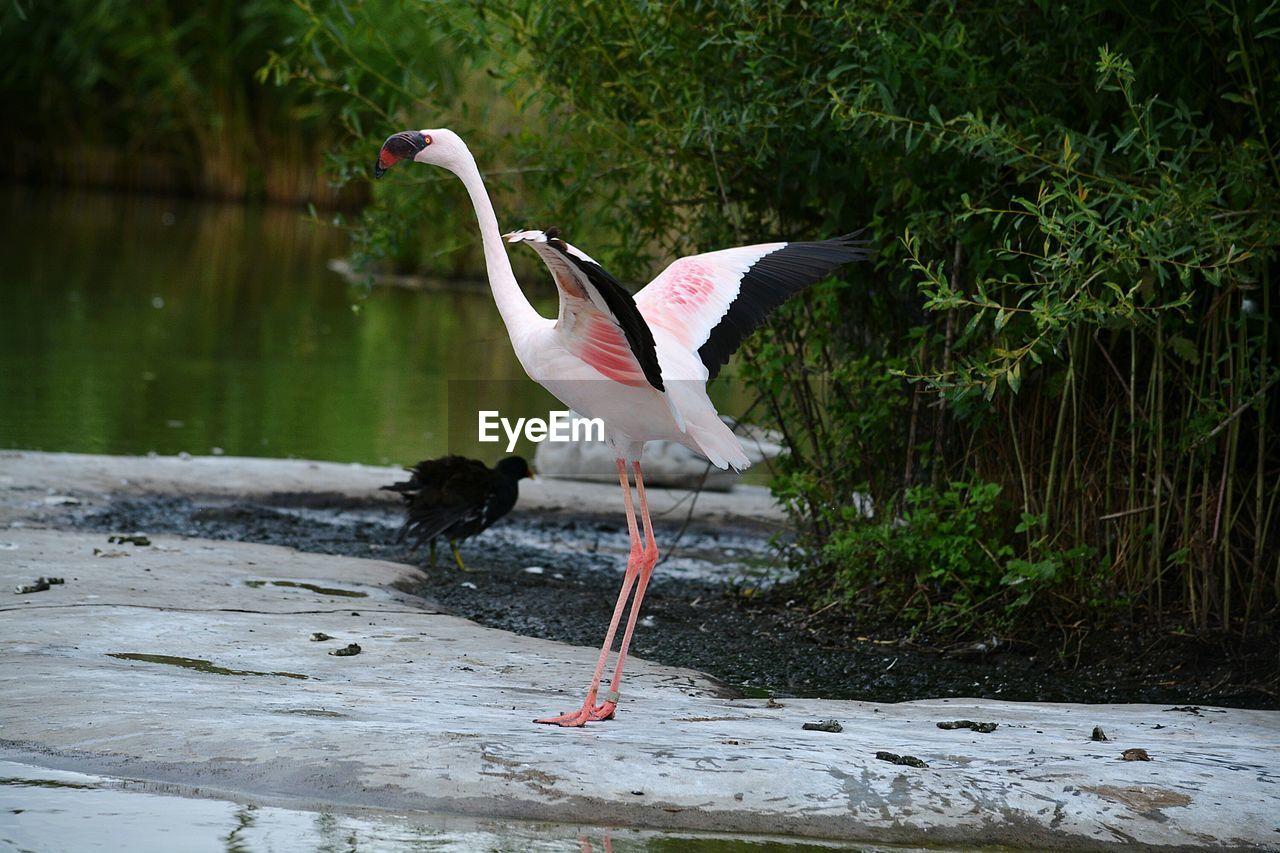 Flamingo On A Lake