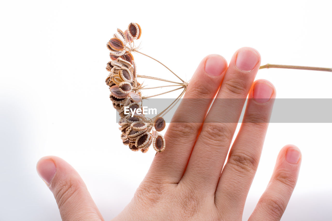 Close-up of hand holding dry plant over white background