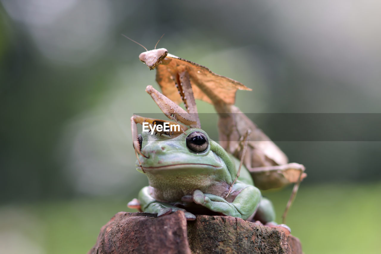 animal, animal themes, close-up, animal wildlife, focus on foreground, one animal, animals in the wild, day, no people, nature, invertebrate, vertebrate, frog, animal body part, insect, amphibian, green color, outdoors, animal antenna, selective focus, animal eye