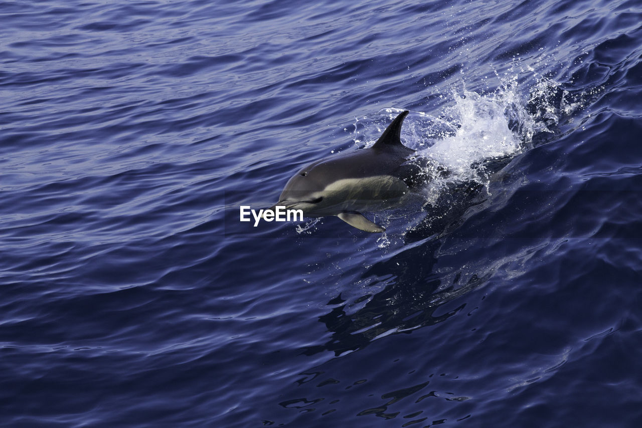 High angle view of dolphin diving in sea