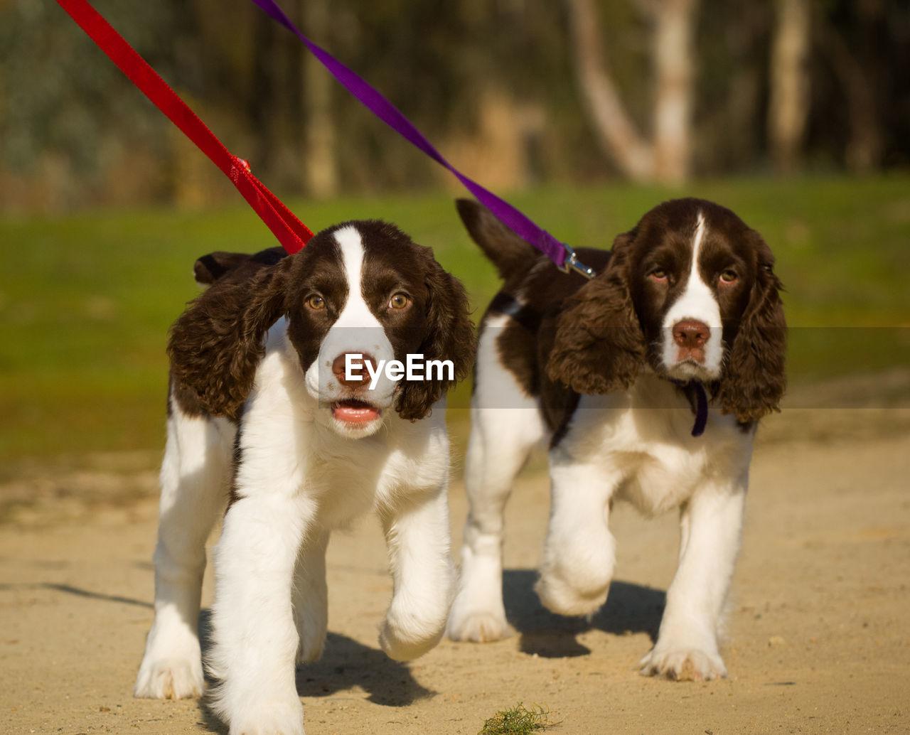 Portrait Of Dogs Walking On Field