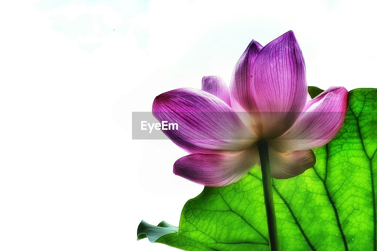 flower, white background, purple, petal, beauty in nature, fragility, nature, freshness, studio shot, leaf, green color, pink color, flower head, no people, close-up, plant, outdoors, day