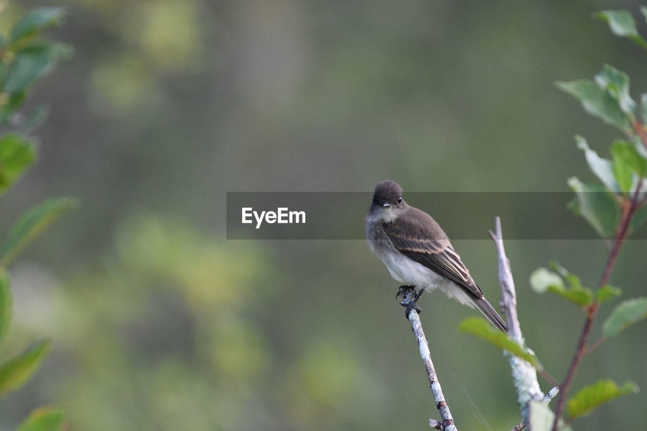 animal wildlife, animal, animals in the wild, animal themes, bird, one animal, vertebrate, perching, focus on foreground, day, plant, no people, nature, close-up, outdoors, green color, beauty in nature, zoology, branch, plant part