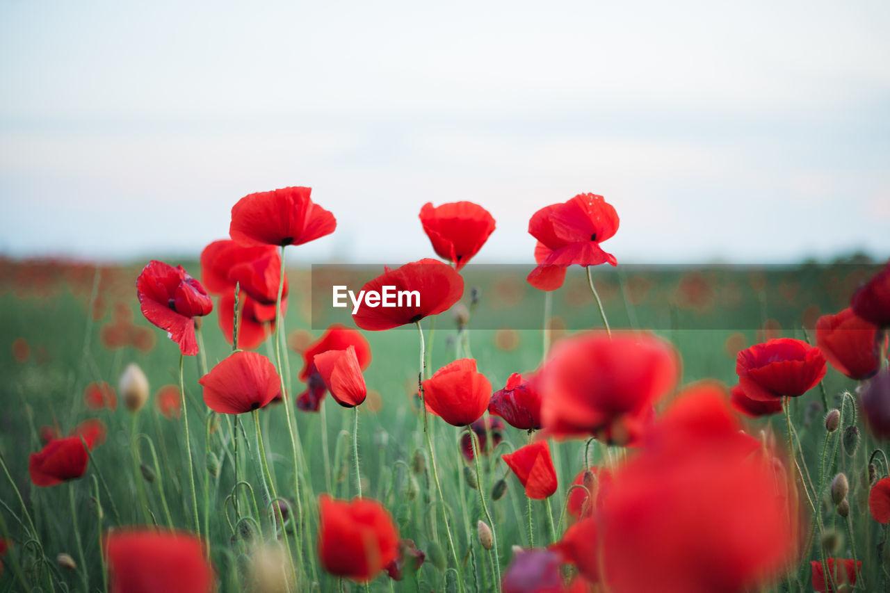 Poppy Flowers Growing On Field Against Sky