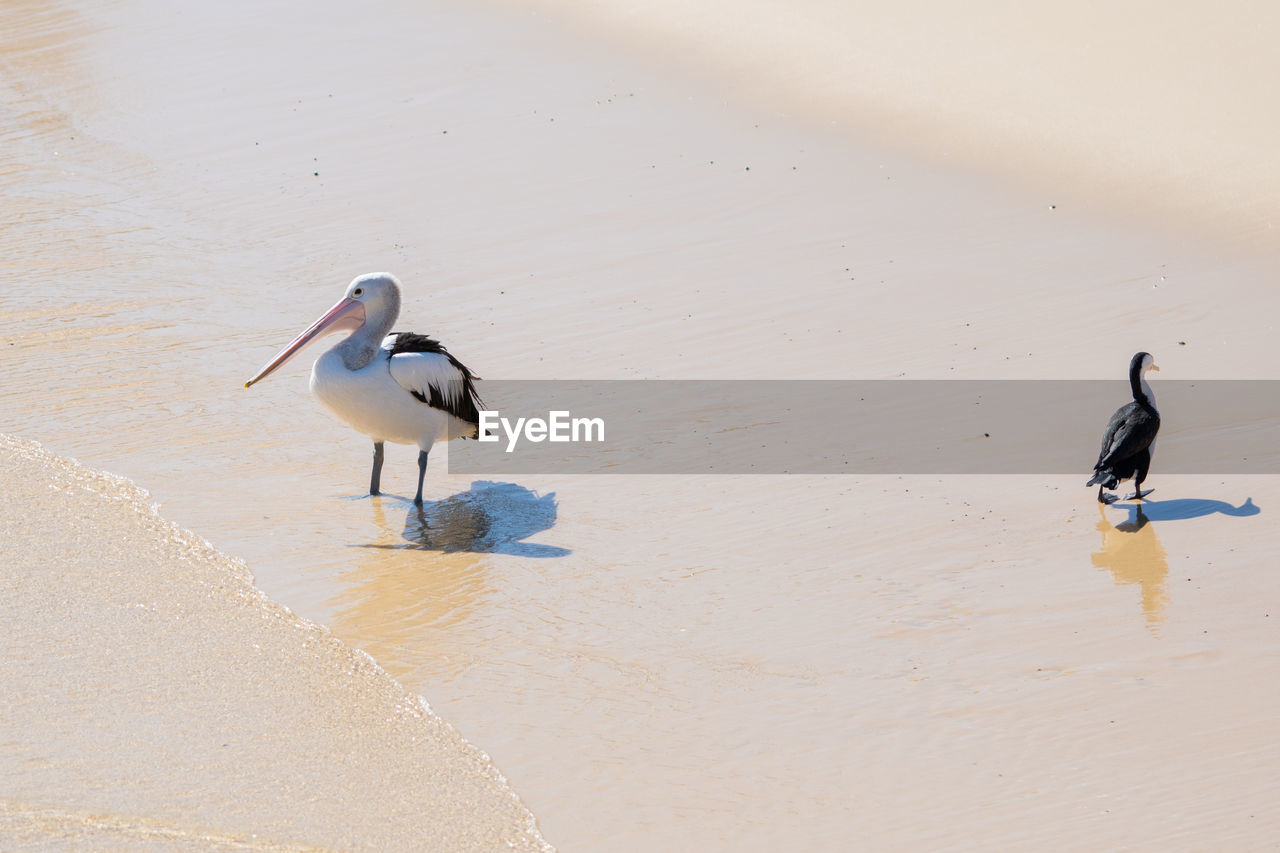 animal, bird, vertebrate, animal themes, animals in the wild, animal wildlife, water, beach, group of animals, sand, land, two animals, no people, nature, sea, day, outdoors, beauty in nature, high angle view, seagull