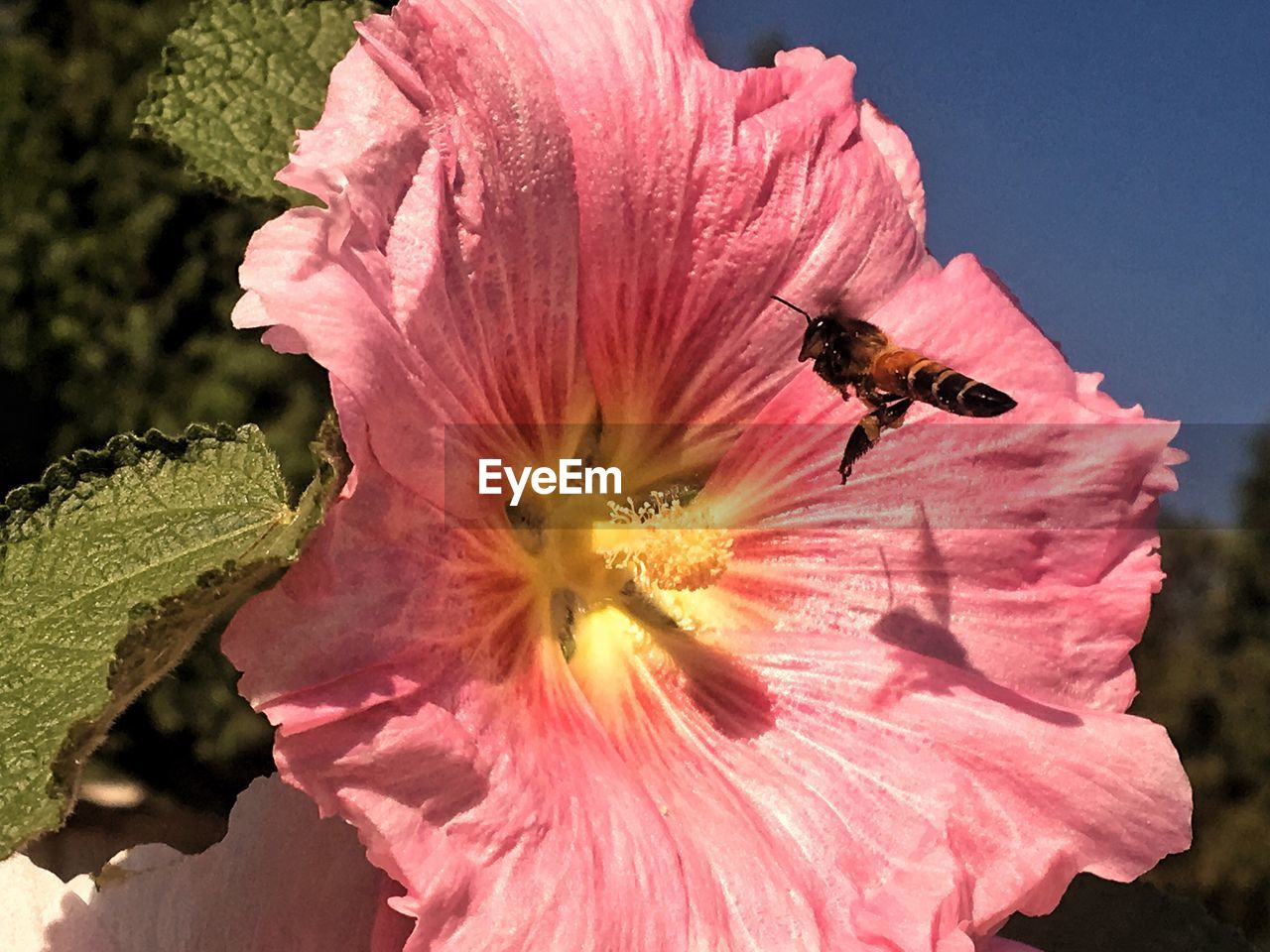 flower, petal, fragility, flower head, nature, growth, freshness, beauty in nature, pollen, one animal, day, insect, outdoors, no people, blooming, animal themes, close-up, animals in the wild, pink color, sunlight, plant, bee, hibiscus
