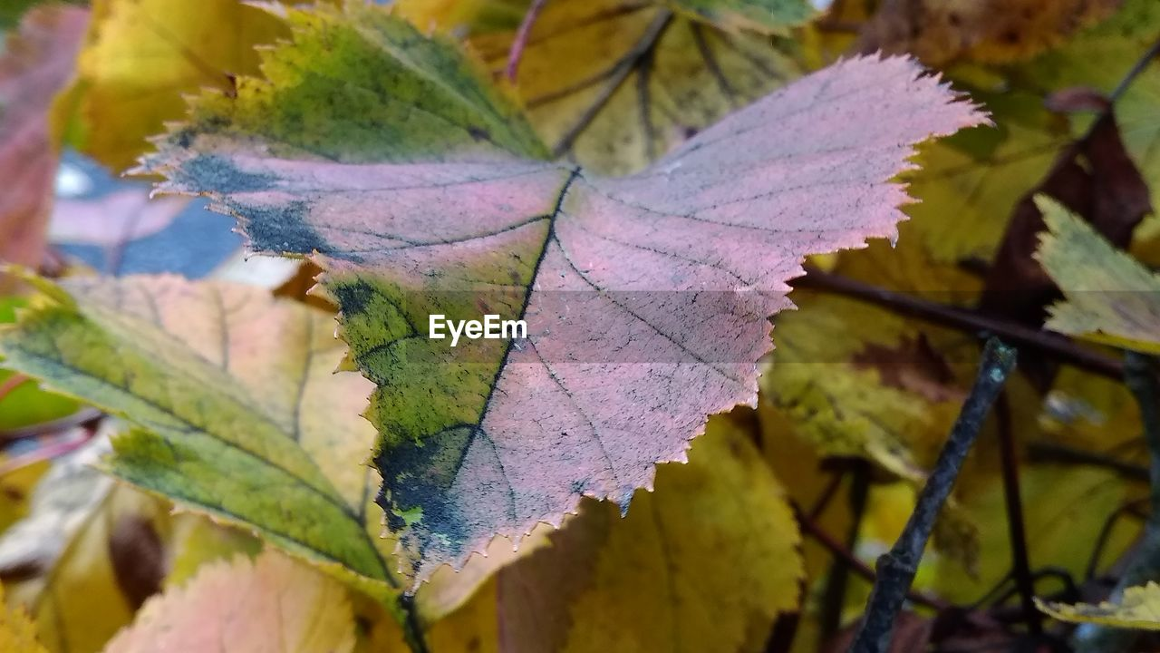 leaf, plant part, autumn, close-up, leaf vein, change, nature, no people, leaves, plant, beauty in nature, selective focus, day, vulnerability, focus on foreground, dry, fragility, outdoors, natural pattern, green color, maple leaf, natural condition, autumn collection, fall