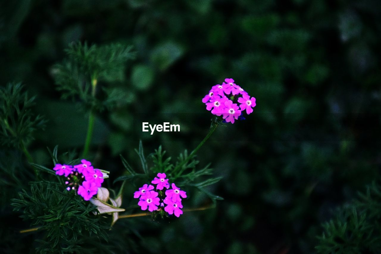 flower, pink color, fragility, plant, nature, beauty in nature, blooming, growth, focus on foreground, petal, freshness, no people, outdoors, flower head, day, lantana camara, close-up, periwinkle