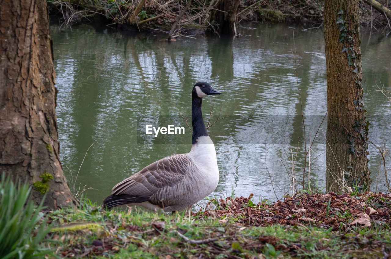 animals in the wild, animal wildlife, animal themes, bird, animal, vertebrate, water, lake, plant, nature, no people, day, tree, one animal, goose, tree trunk, trunk, water bird, outdoors, floating on water