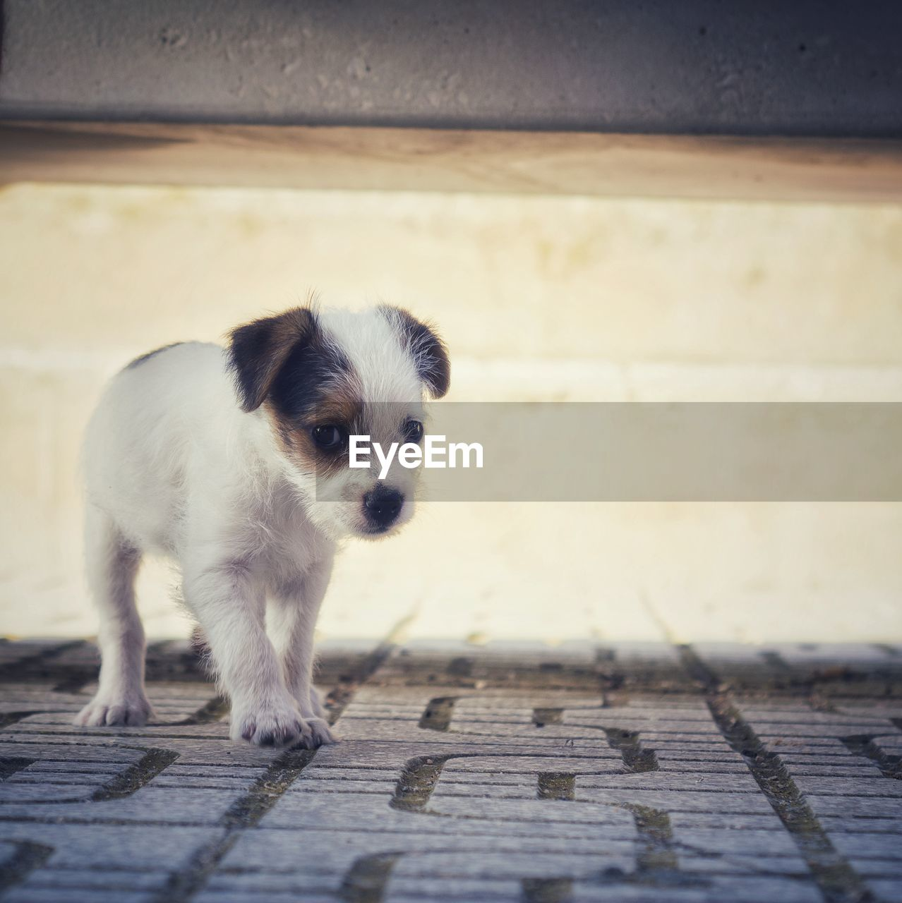 one animal, mammal, domestic animals, domestic, pets, canine, dog, vertebrate, portrait, young animal, looking at camera, puppy, no people, footpath, day, standing, full length, flooring