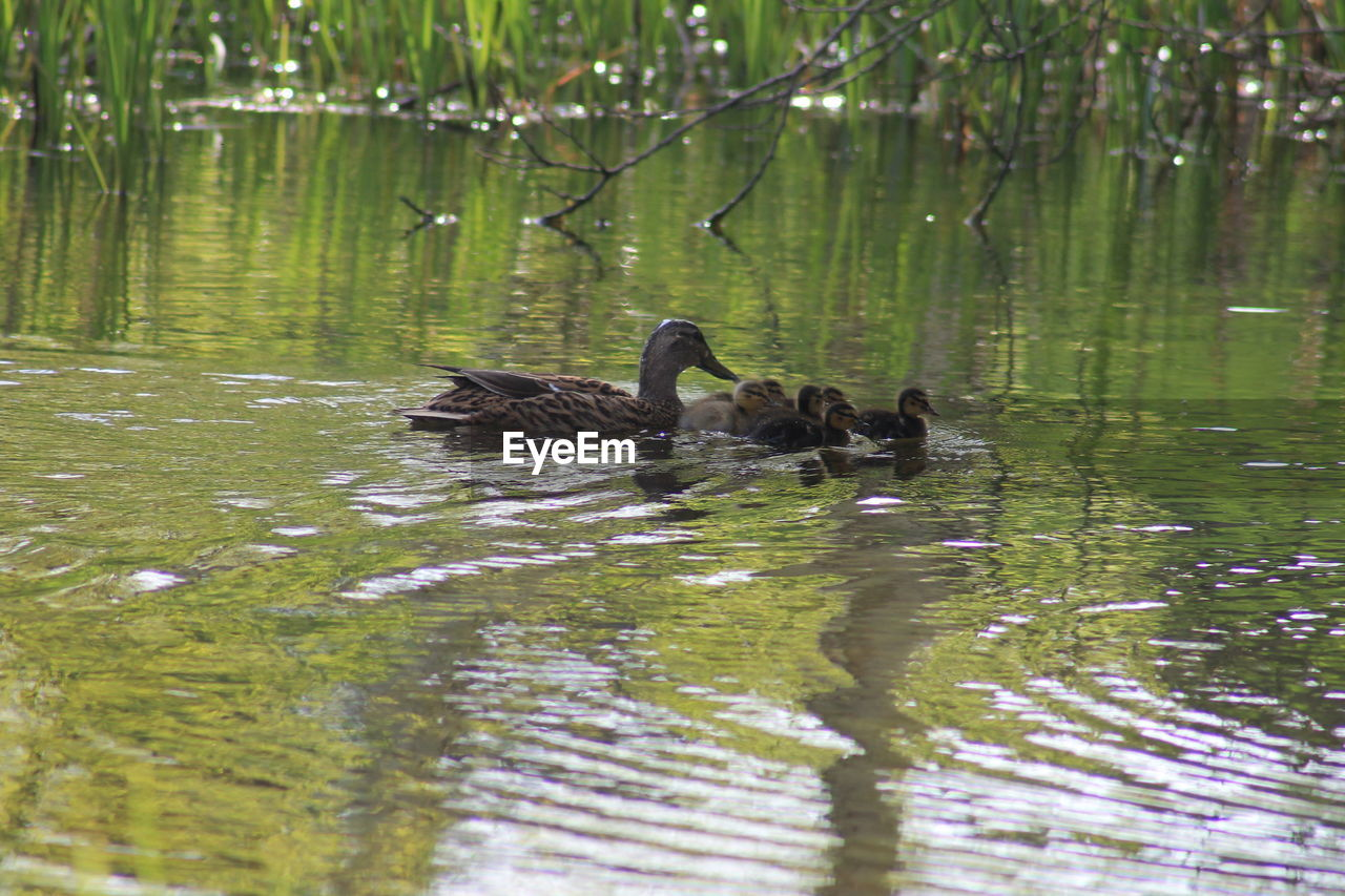 bird, animal themes, water, animals in the wild, vertebrate, group of animals, animal wildlife, animal, lake, swimming, waterfront, no people, reflection, nature, young animal, day, water bird, poultry, animal family, duck, outdoors, floating on water, gosling