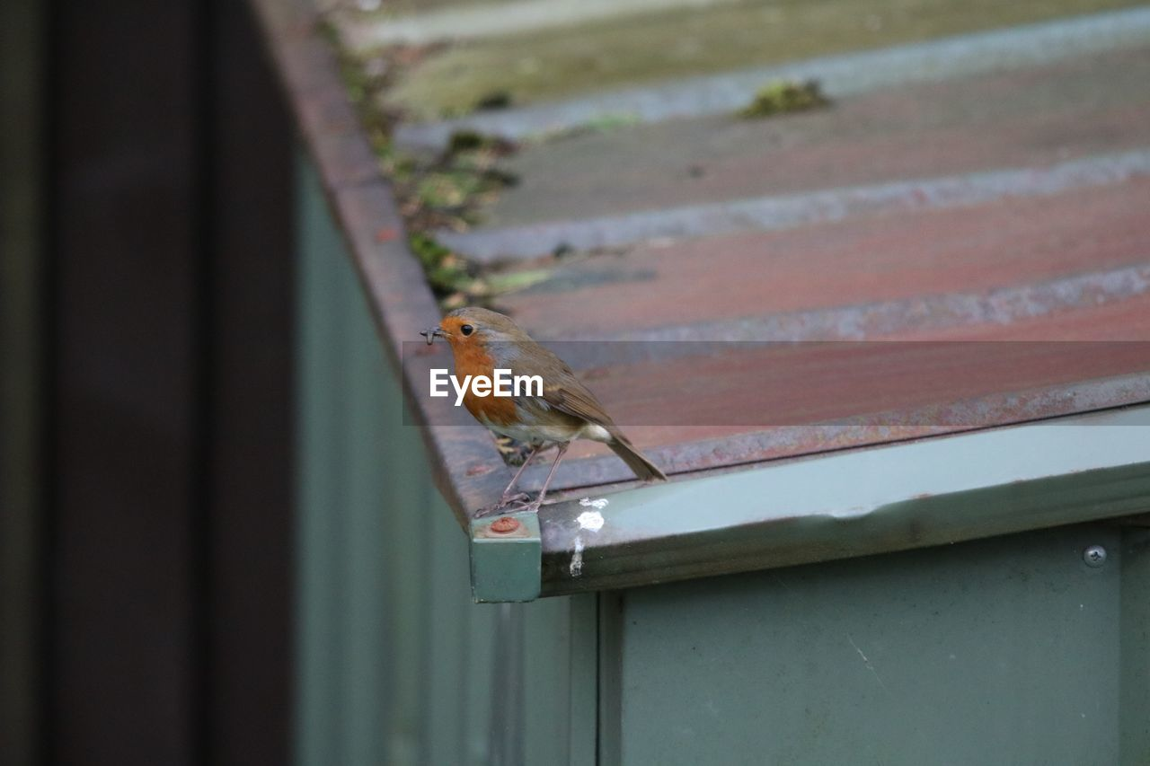 Robin Perching On Roof