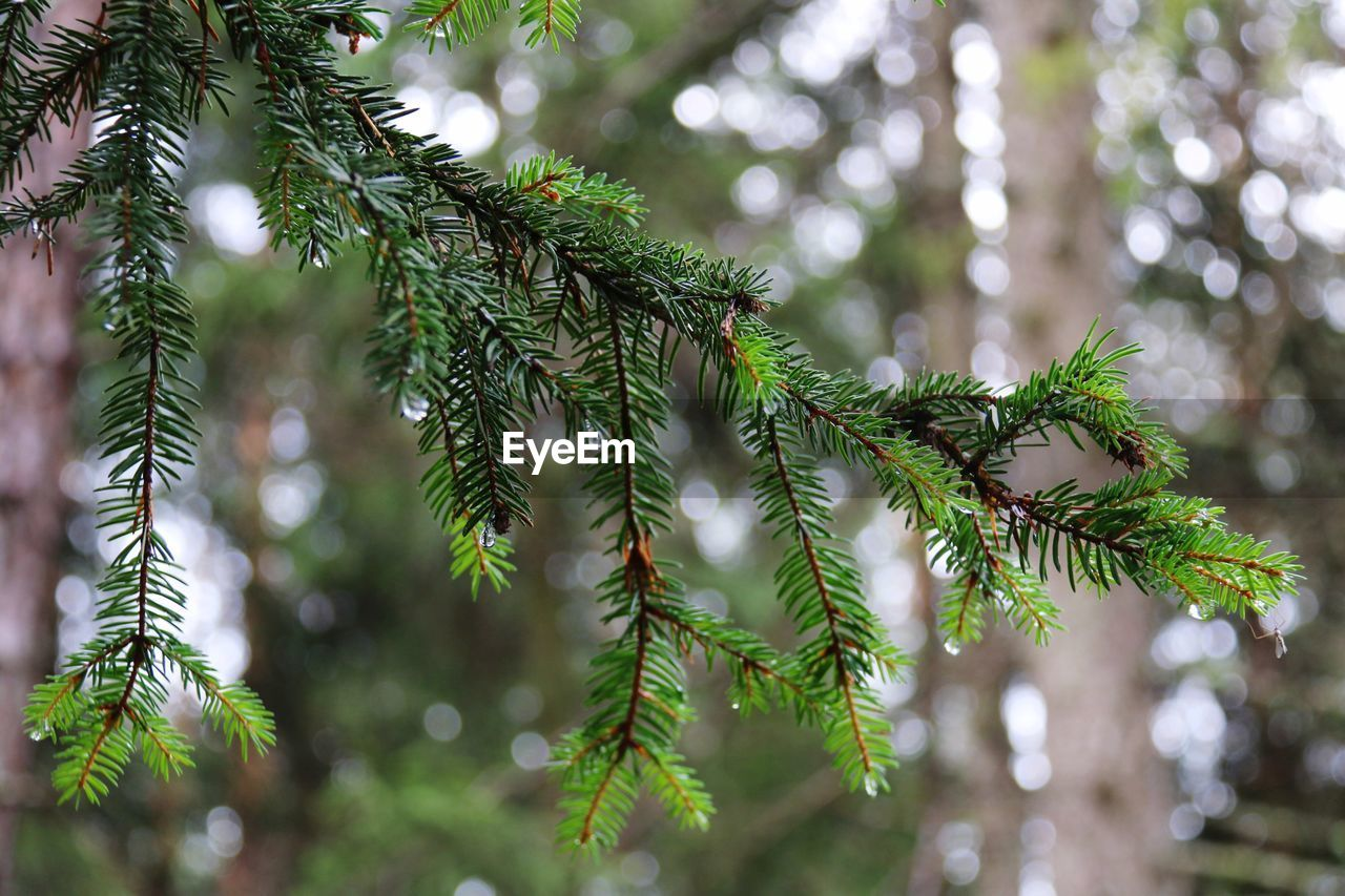 CLOSE-UP OF PINE TREE DURING CHRISTMAS