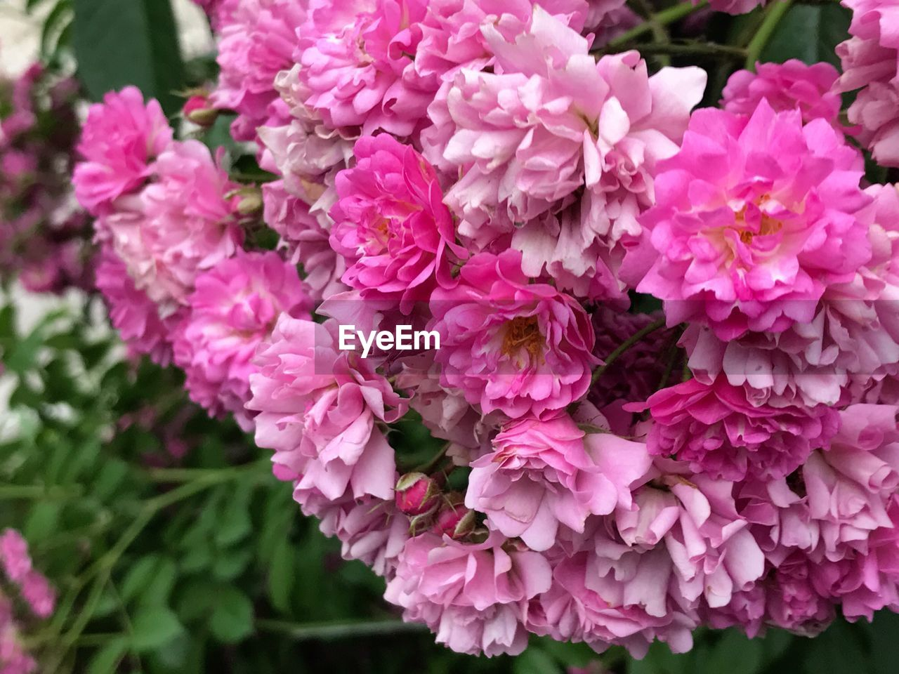 flower, nature, beauty in nature, pink color, petal, fragility, growth, freshness, plant, blooming, outdoors, no people, flower head, close-up, day, lilac