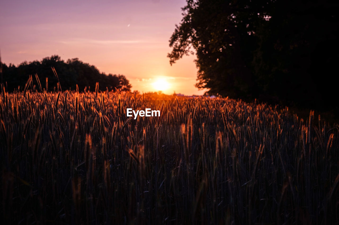 growth, sunset, field, nature, agriculture, farm, plant, landscape, wheat, tranquility, sky, beauty in nature, rural scene, cereal plant, no people, outdoors, tree