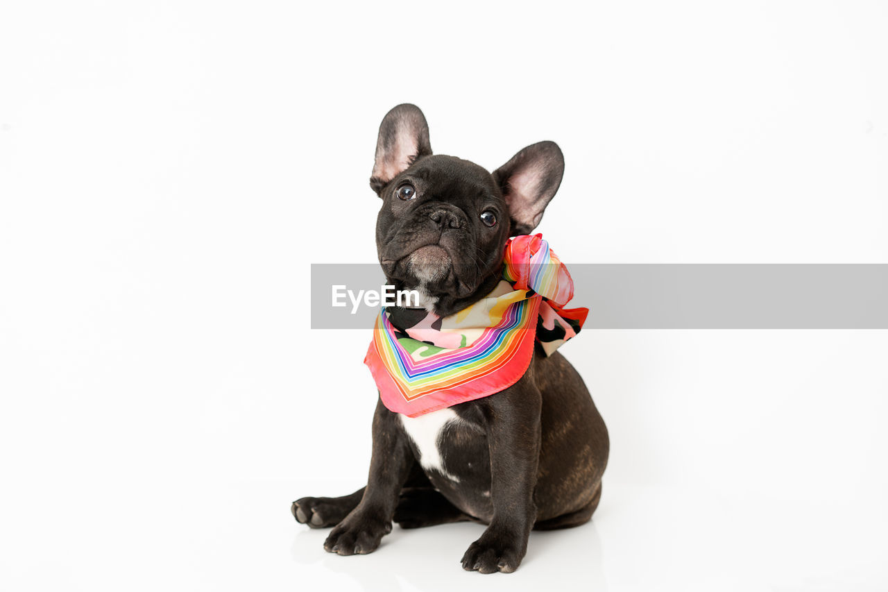 studio shot, pets, domestic, canine, mammal, domestic animals, animal themes, one animal, dog, animal, white background, indoors, copy space, vertebrate, french bulldog, small, no people, black color, portrait, looking at camera