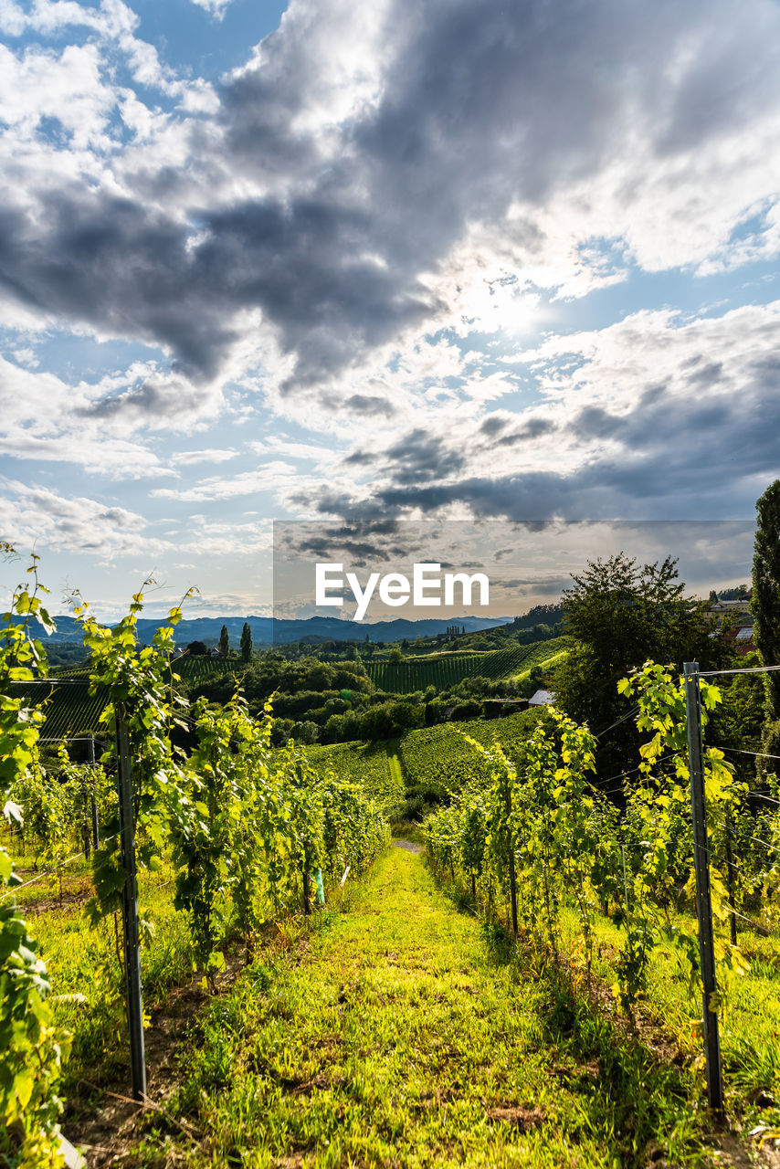 cloud - sky, sky, beauty in nature, plant, tranquil scene, scenics - nature, tranquility, landscape, growth, land, green color, agriculture, field, nature, environment, vineyard, no people, rural scene, crop, farm, winemaking, outdoors, diminishing perspective, plantation