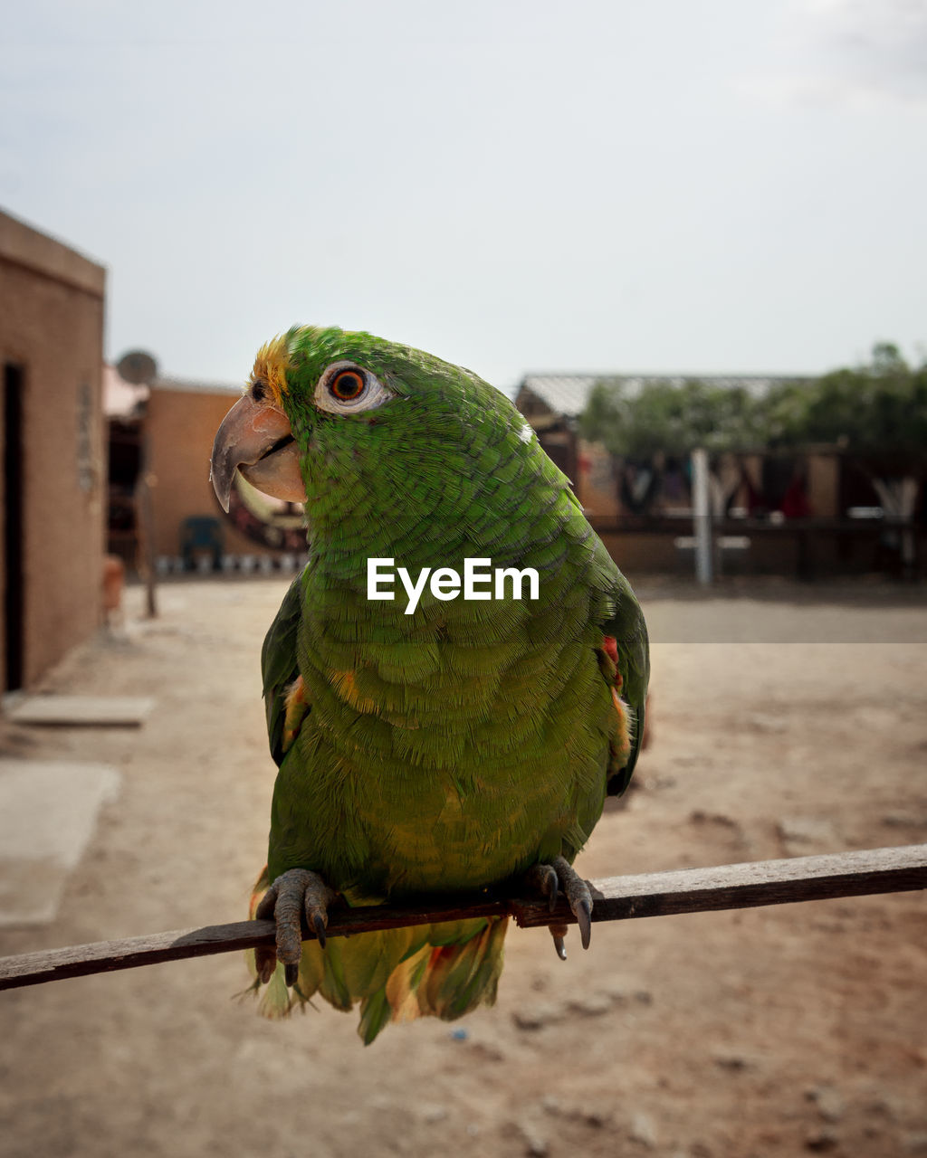 vertebrate, bird, animal themes, parrot, animal, focus on foreground, one animal, animal wildlife, animals in the wild, perching, close-up, green color, day, nature, outdoors, no people, full length, pets, looking, domestic
