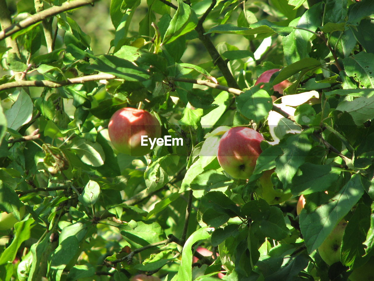 fruit, food and drink, red, growth, food, tree, healthy eating, outdoors, apple - fruit, nature, green color, freshness, leaf, day, branch, no people, pomegranate, sunlight, low angle view, beauty in nature, close-up