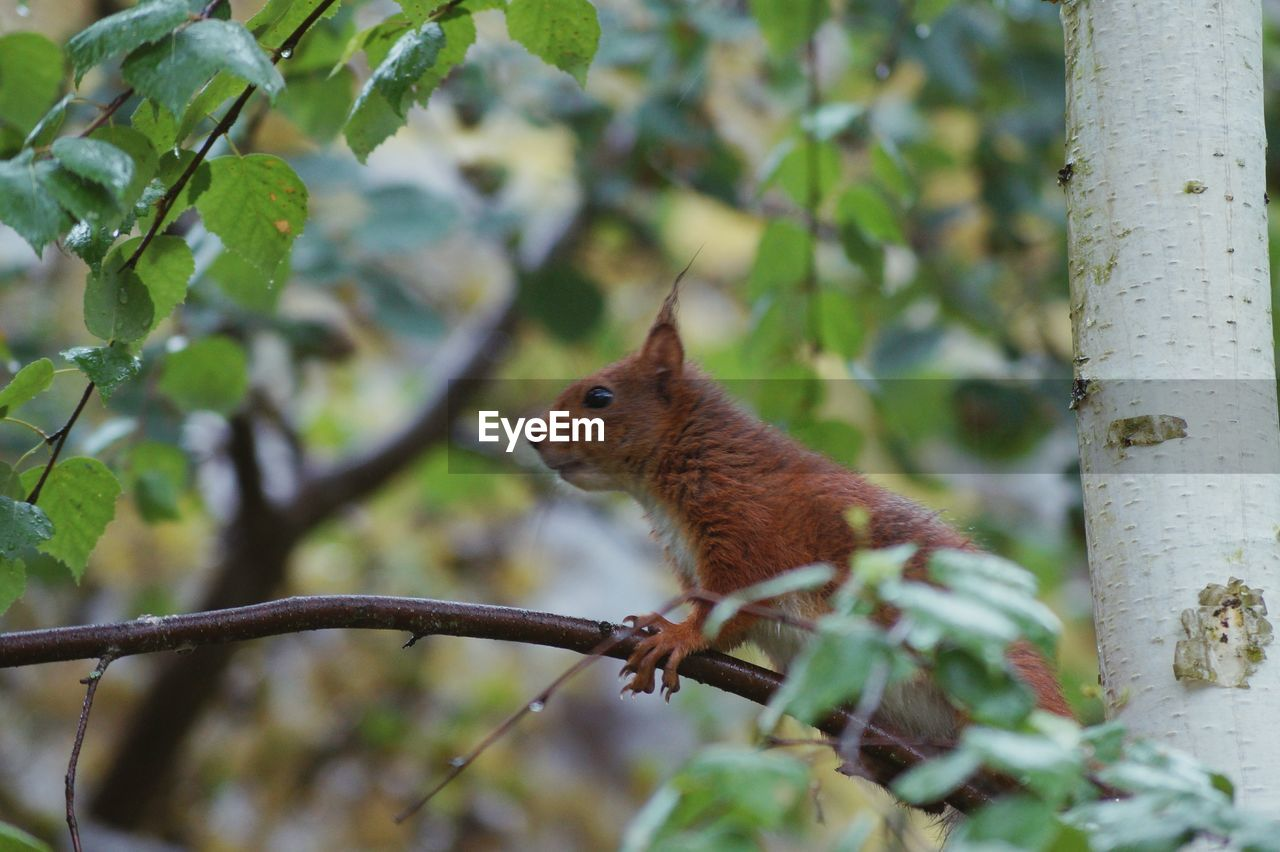 Eurasian red squirrel on tree branch