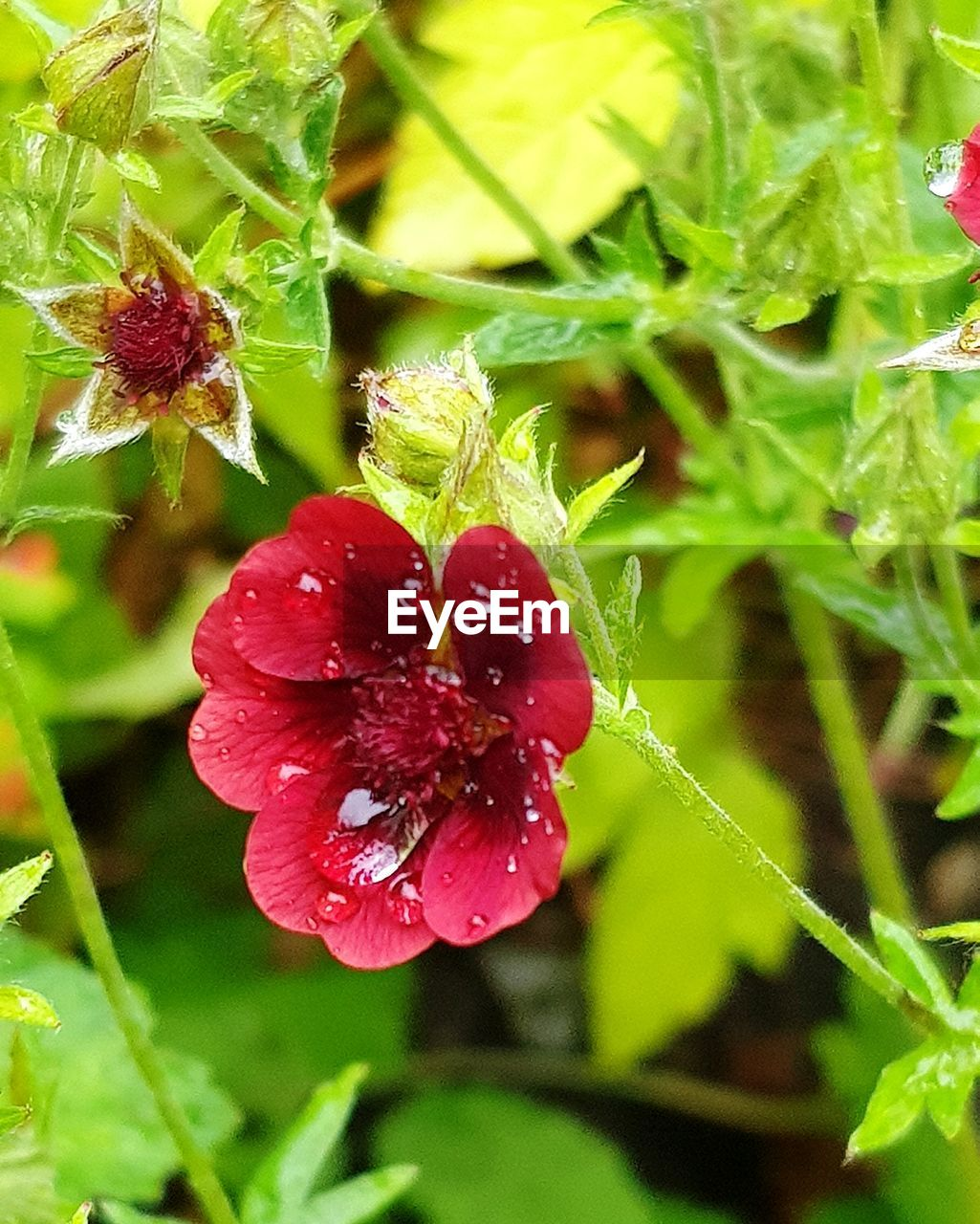 Close-Up Of Wet Red Flowering Plant